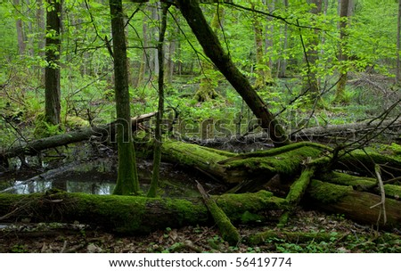 Moss covered broken alder trees lying in water in front of wet alder stand of Bialowieza Forest