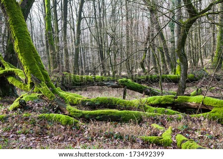 Moss covered broken trees lying Carpathian forest - stock photo