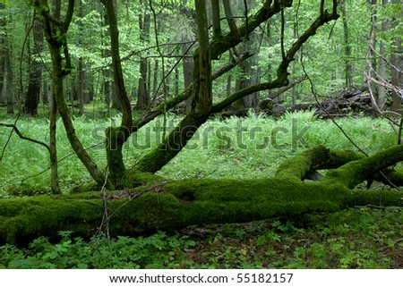 Moss covered linden broken tree with some branches still alive - stock photo