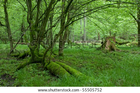 Moss covered linden broken tree with some branches still alive and stump in background - stock photo