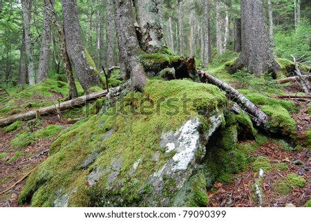 moss covered stone in fundy national park forest, canada on early morning hike - stock photo