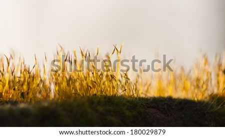 Moss flowers in spring with natural background