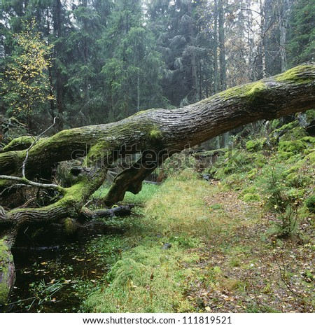 Moss growing on fallen tree in forest - stock photo
