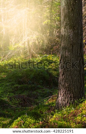 Moss in pine forest during evening sun. Sweden - stock photo
