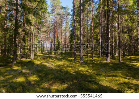 Moss in the pine forest. Summer landscape