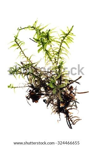 moss isolated - stock photo