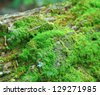 Moss on log - stock photo