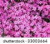 Moss Phlox - stock photo
