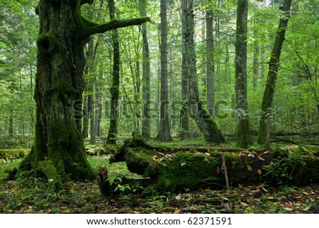 Moss wrapped part of broken hornbeam lying against illuminated deciduous stand of Bialowieza Forest - stock photo