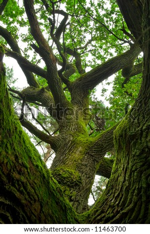 Mossy branches of mighty oak. - stock photo