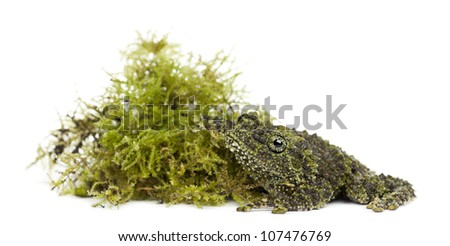 Mossy Frog next to Moss, Theloderma corticale, also known as a Vietnamese Mossy Frog, or Tonkin Bug-eyed Frog, portrait against white background - stock photo