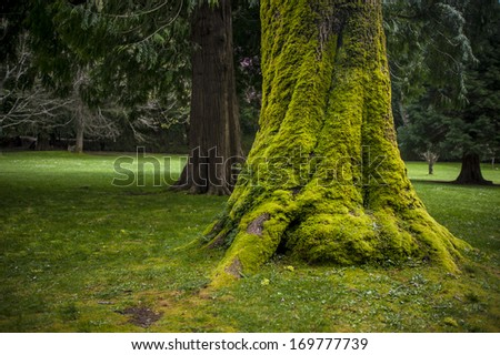 Mossy Green Tree Trunk in Park.  - stock photo