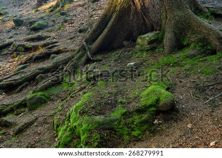 Mossy rocks surrounded by roots - stock photo