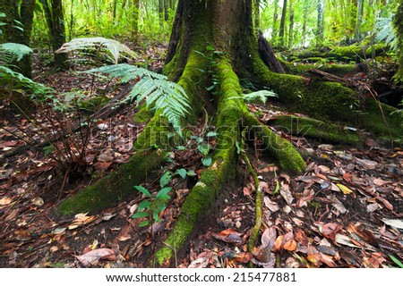 Mossy roots of giant tree and fern growing in deep mossy tropical rain forest. Nature background - stock photo