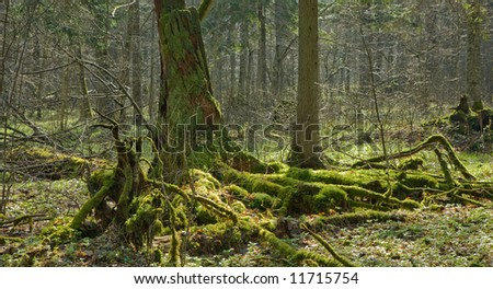 Mossy stump and forest in background