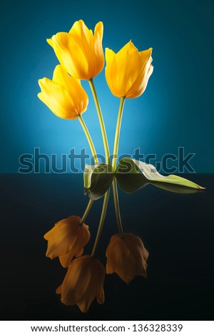 most beautiful flowers of spring, yellow tulips on a reflective table, blue background - stock photo