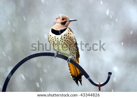 most beautiful woodpecker sitting in a snowstorm - stock photo