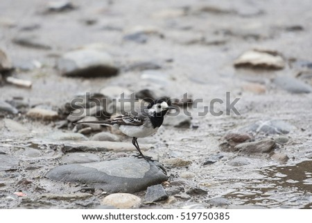 Motacilla alba, white wagtail portrait on ground