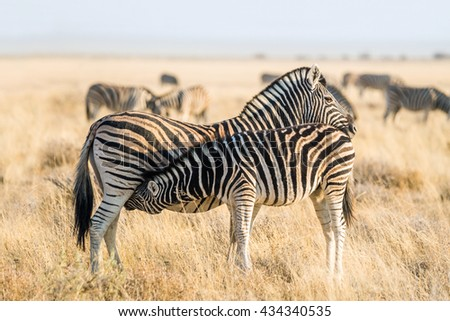 Moter burchell`s zebra (Equus quagga) suckling her foal in the grasslands of Etosha national park, Namibia - stock photo