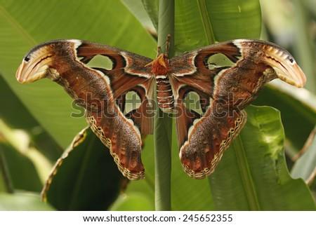 Moth (Attacus atlas) - stock photo
