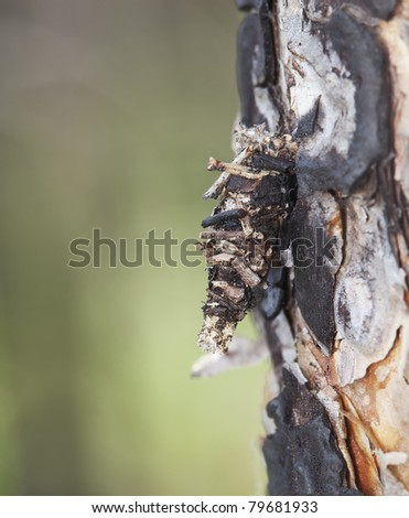 Moth larva on burt bark, macro photo
