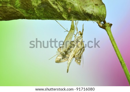 Moth Nausinoe perspectata metamorphosis - emerges from the pupa - stock photo