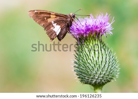 moth on a thistle flower in summer - stock photo