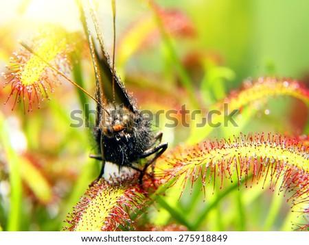 moth on sundew ( drosera ) close up. macro picture - stock photo