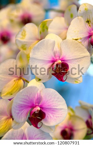 moth orchid - stock photo