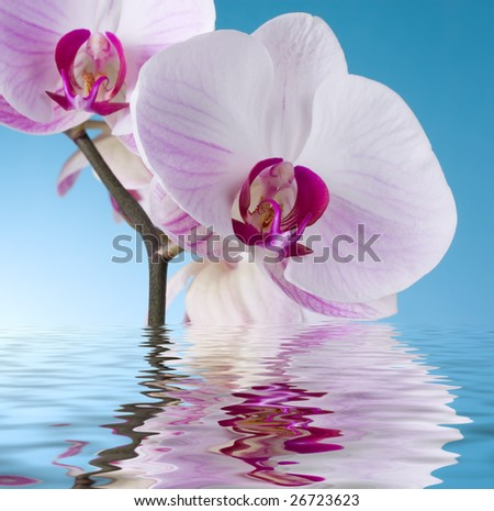 Moth Orchid isolated on Blue