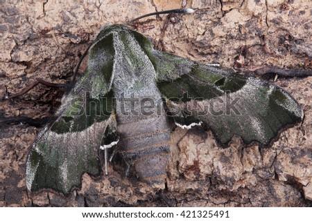 Moth - Willowherb Hawkmoth (Proserpinus proserpina). Macro - stock photo