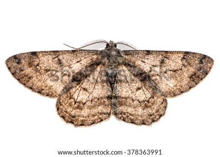Moth with outspread wings isolated on white. - stock photo