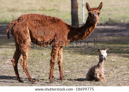 mother alpaca with new born - stock photo
