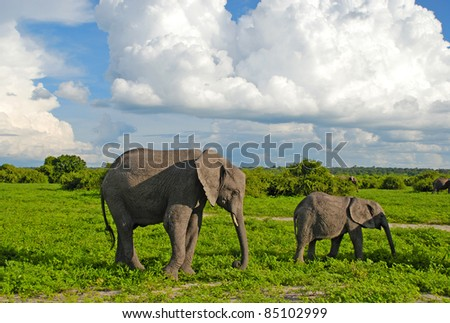 Mother and baby african elephants walking in savannah. Taken in Chobe National Park, Botswana. - stock photo