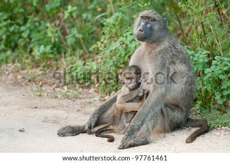 Mother and Baby Baboon Kruger Park South Africa