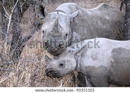 Mother and Baby Black Rhino. Taken in South Africa - stock photo