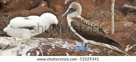 Mother and Baby Blue-Footed Boobies on Grand Seymore Island, Galapagos Islands, Ecuador - stock photo
