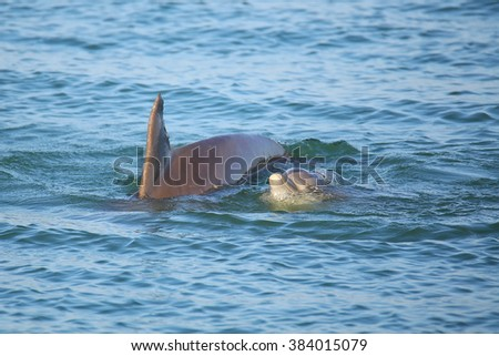 Mother and baby Common bottlenose dolphins swimming near Sanibel island in Florida - stock photo
