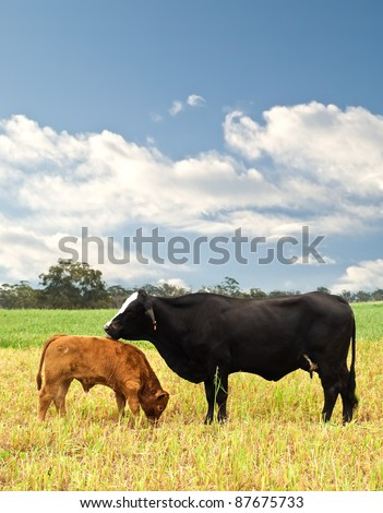mother and baby cow Australian bred beef cattle on agricultural pasture - stock photo