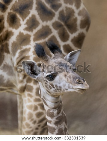 Mother and baby Giraffe - stock photo
