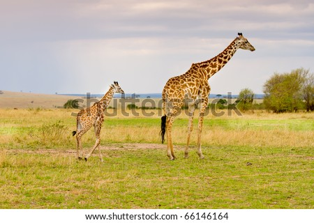 Mother and baby giraffe walking masai mara Kenya - stock photo