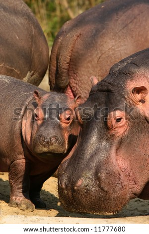 Mother and baby hippo - stock photo