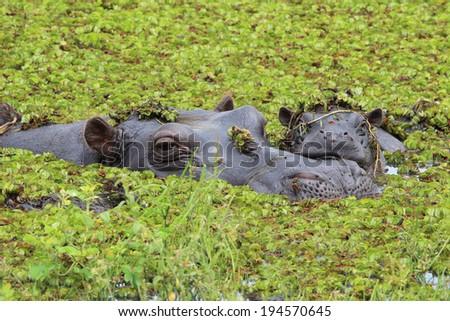 Mother and baby hippo in the Okavango Delta of Botswana. - stock photo