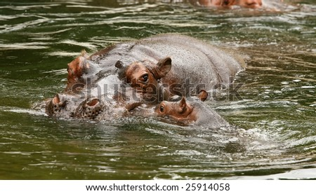 Mother and baby hippo in the water - stock photo