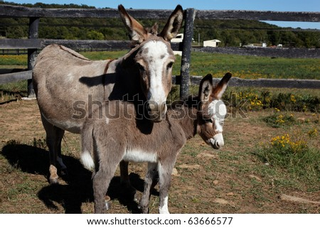 mother and baby miniature donkeys - stock photo