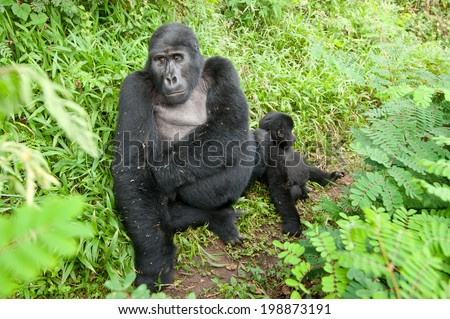 Mother and baby Mountain Gorillas in forest in Natural habitat - stock photo