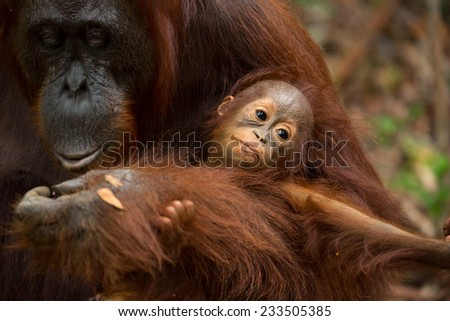 Mother and baby Orangutan in south Borneo Indonesia. - stock photo