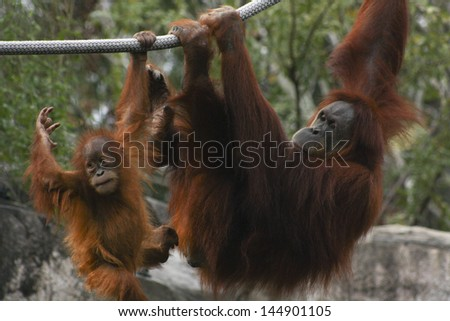 Mother and baby orangutan play on ropes - stock photo