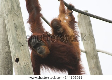 Mother and baby orangutan swinging from rope - stock photo