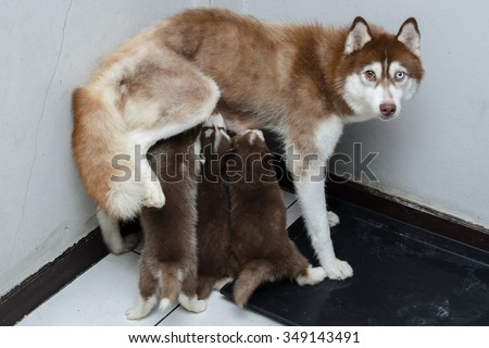 Mother and baby, Puppy Siberian husky eating milk